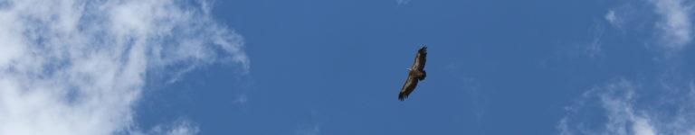 photo vautour
