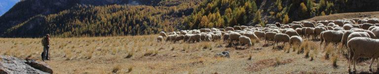 bergere chien troupeau automne